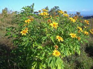 Finca Bayano - Falsche Sonnenblume